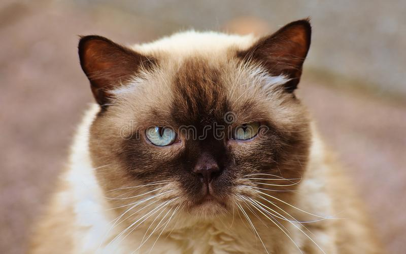 Close-up Photography of Himalayan Cat royalty free stock photography
