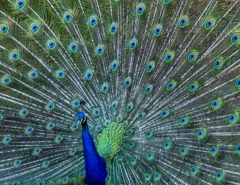 Colourful Male Peacock Displaying Feathers. A close up photography of a male Peacock showing geometrical continues pattern royalty free stock photo