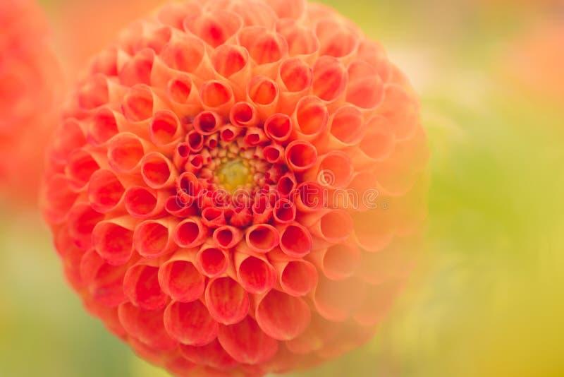 Close-Up Photography of Orange Dahlia Flower royalty free stock photo