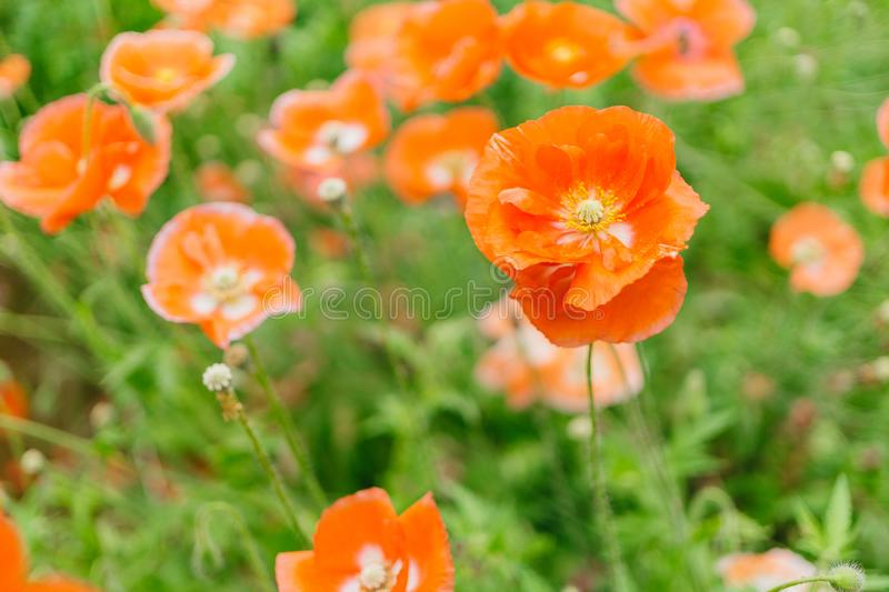 Close-up Photography of Orange Petaled Flowers royalty free stock images