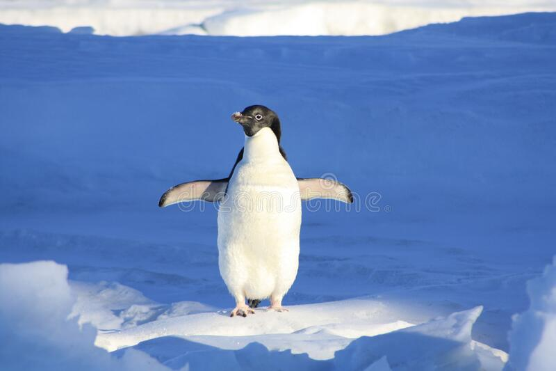 Close Up Photography of Penguin on Snow stock photos