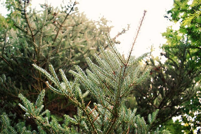 Close-Up Photography of Pine Leaves royalty free stock image