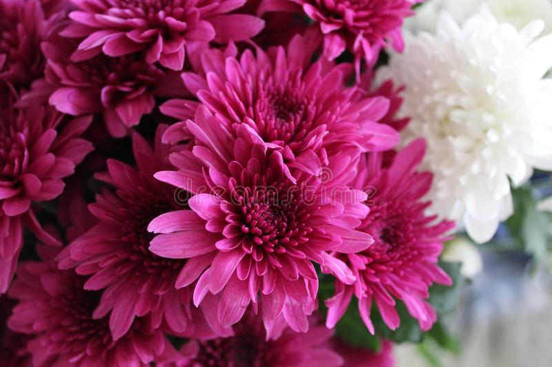 Close-up Photography of Pink Chrysanthemum Flowers stock photos