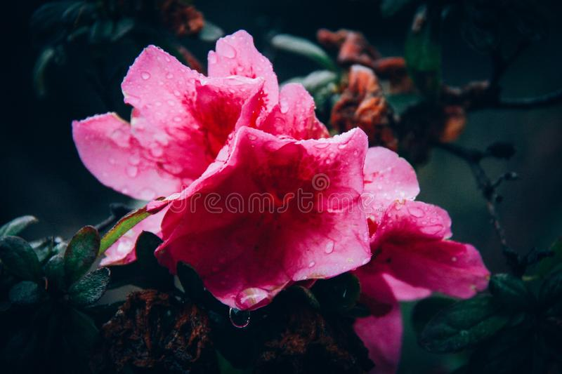 Close-Up Photography of Pink Flower With Droplets stock image