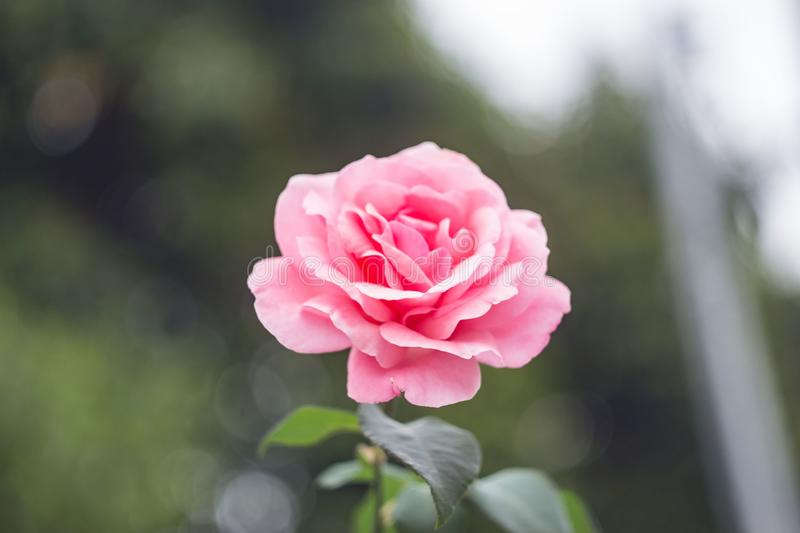 Close-Up Photography of Pink Rose royalty free stock photography