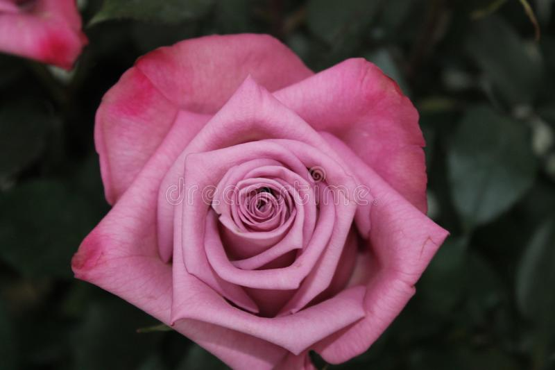 Close Up Photography of Pink Rose Flower stock photography