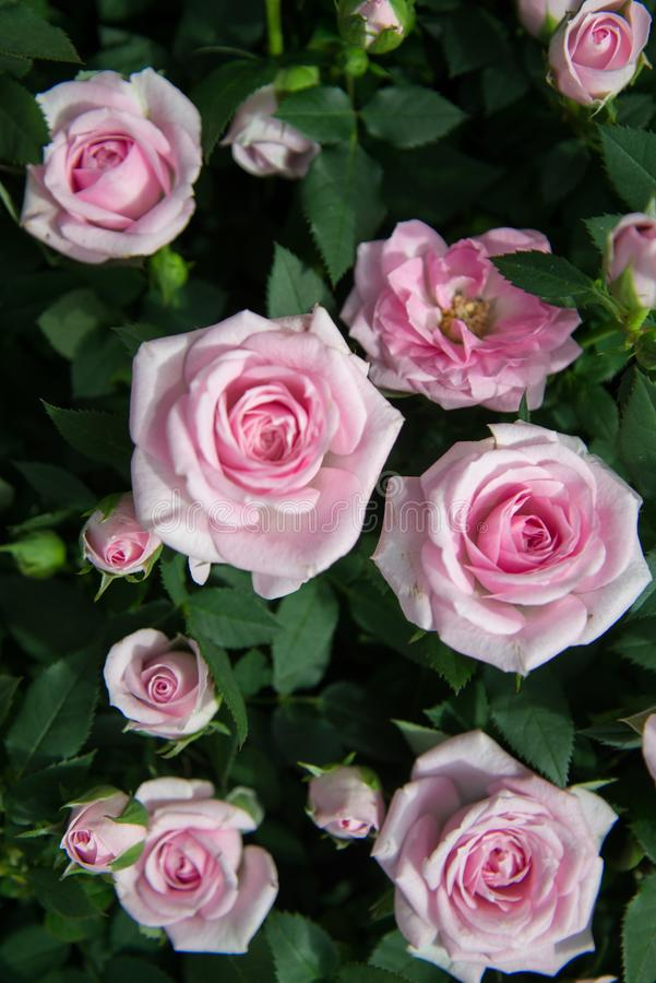 Close Up Photography of Pink Roses Under Sunny Sky stock photo