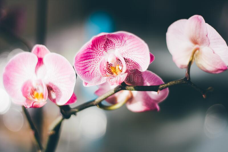 Close-Up Photography of a Pink and White Moth Orchid stock images