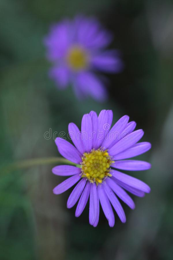 Close Up Photography of Purple Multi Petaled Flower stock photos