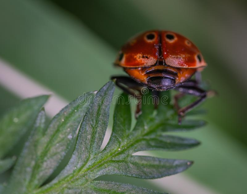 Close-up Photography of Red and Black Ladybug royalty free stock photo
