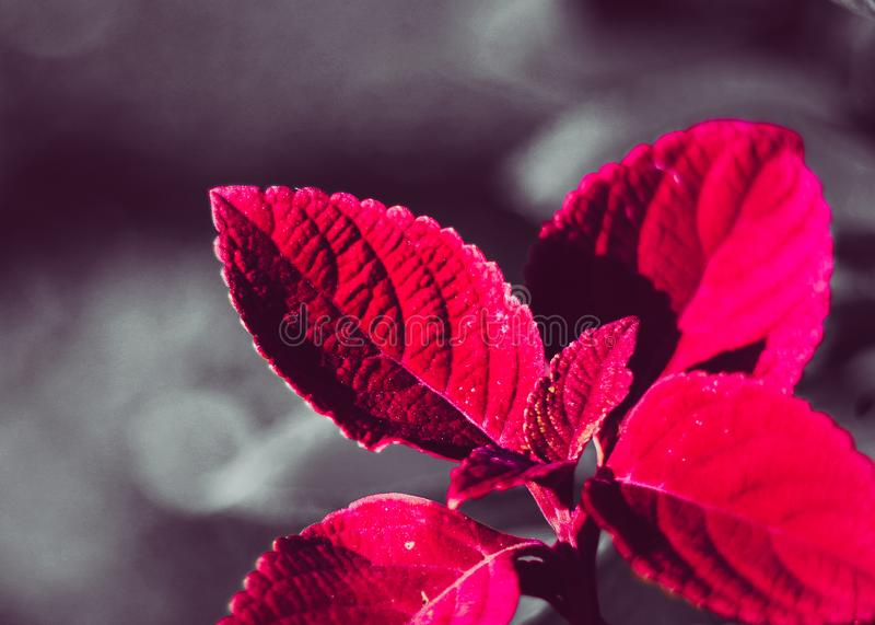 A close up photography of red colored leaves with blur background at a park royalty free stock photography