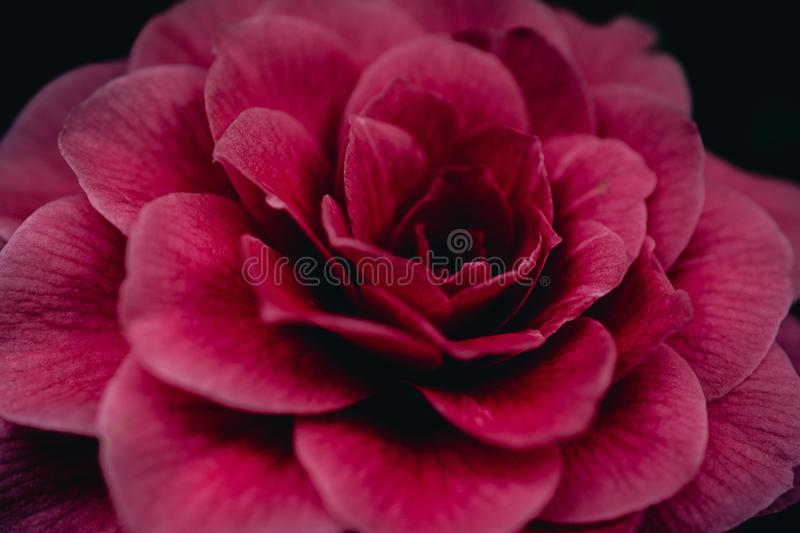 Close-Up Photography of Red Flower royalty free stock image