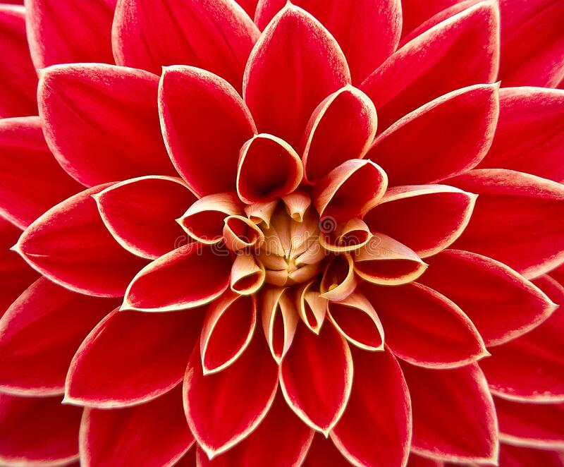 Close Up Photography of Red Petaled Flower stock photography