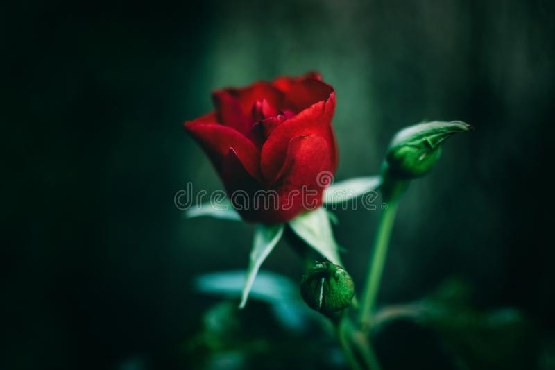 Close-Up Photography of Red Rose stock photography