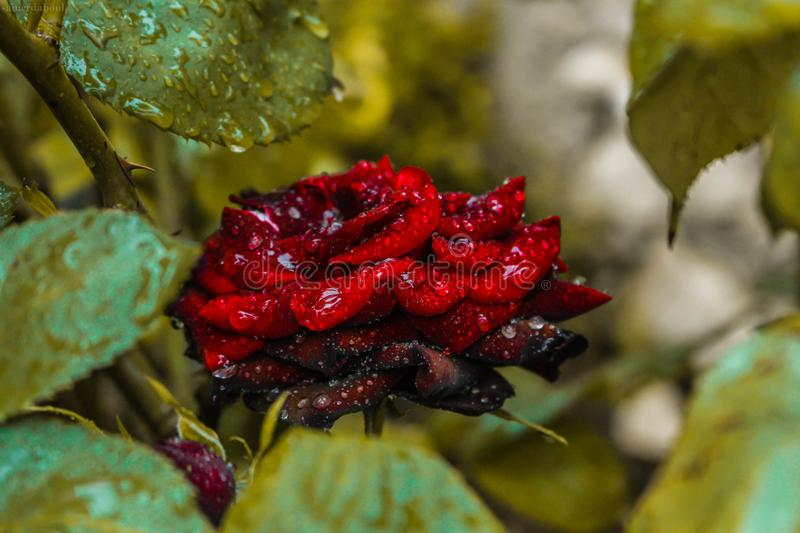 Close-Up Photography of Red Rose royalty free stock images