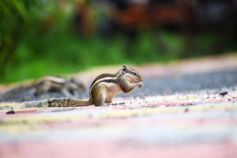 Close-up Photography of a Squirrel royalty free stock photography
