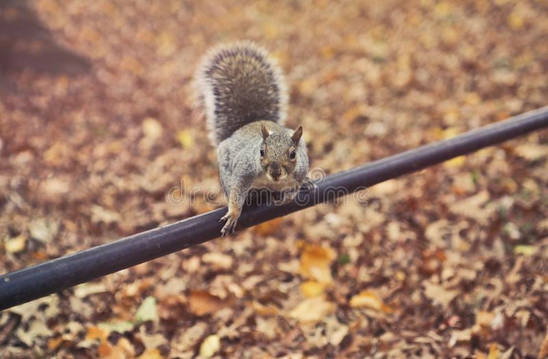 Close-up Photography of Squirrel royalty free stock photos