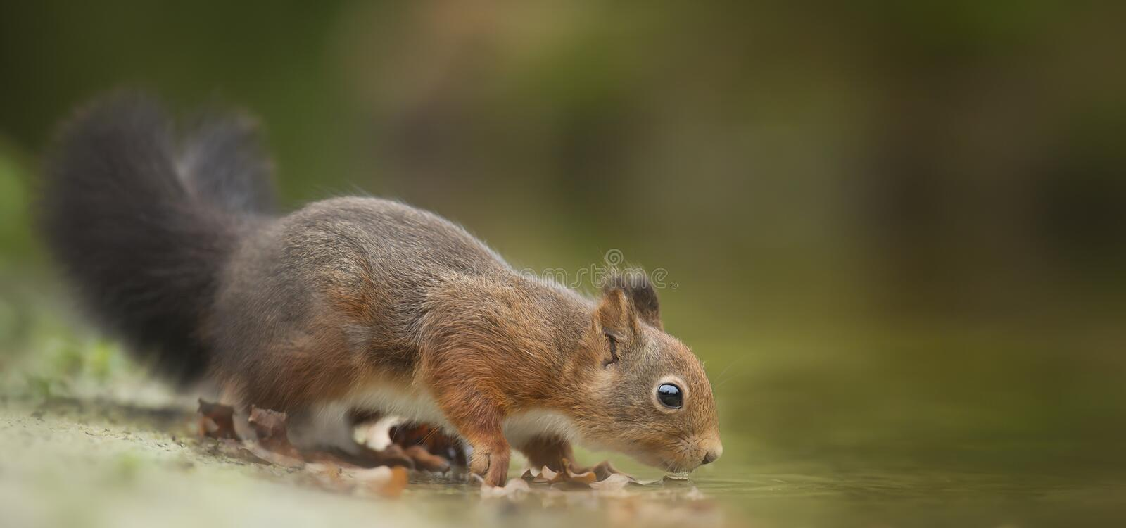 Close-Up Photography of Squirrel Drinking stock photos