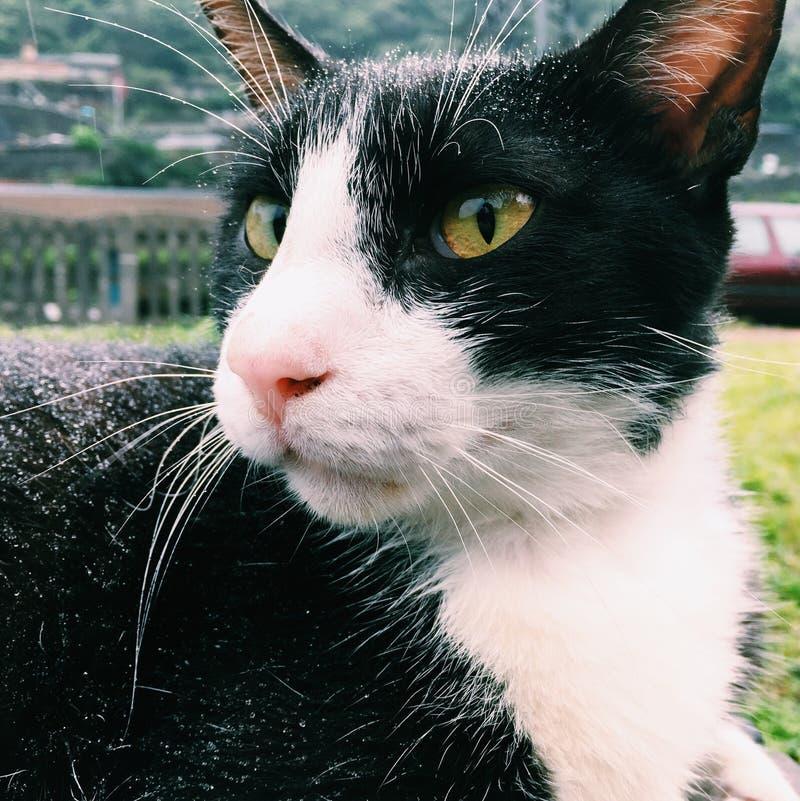 Close-up Photography of Tuxedo Cat royalty free stock image
