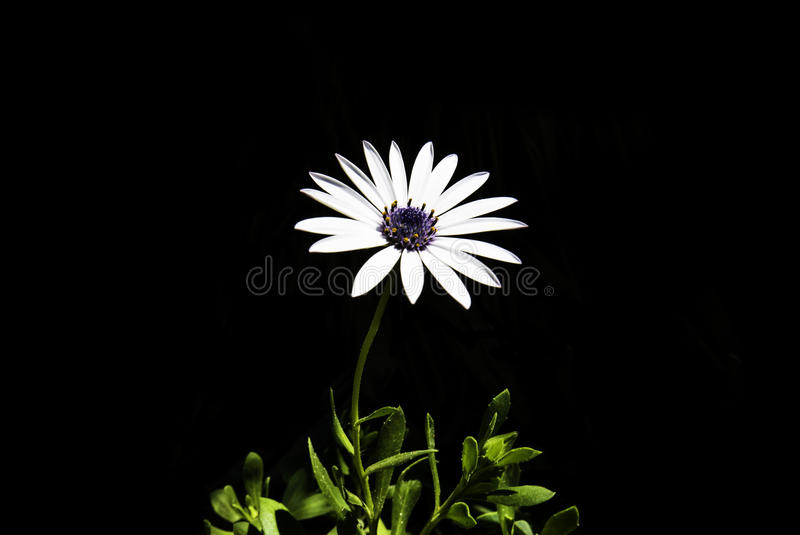Download Close Up Photography Of White Daisy Stock Photo - Image of stock, wallpaper: 83015982