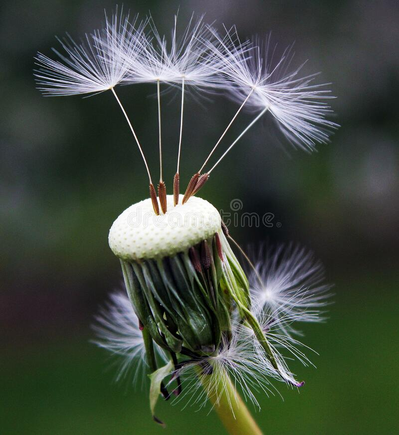 Close Up Photography of White Dandelion Seed stock photo