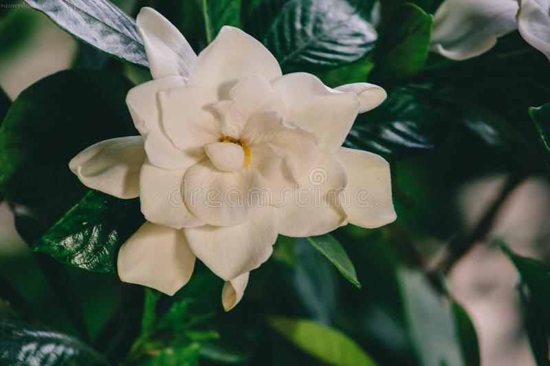 Close-up Photography of White Multi Petaled Flower royalty free stock photography