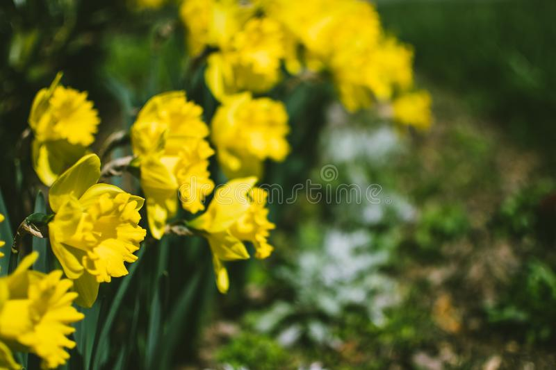 Close-Up Photography of Yellow Daffodil Flowers stock photos