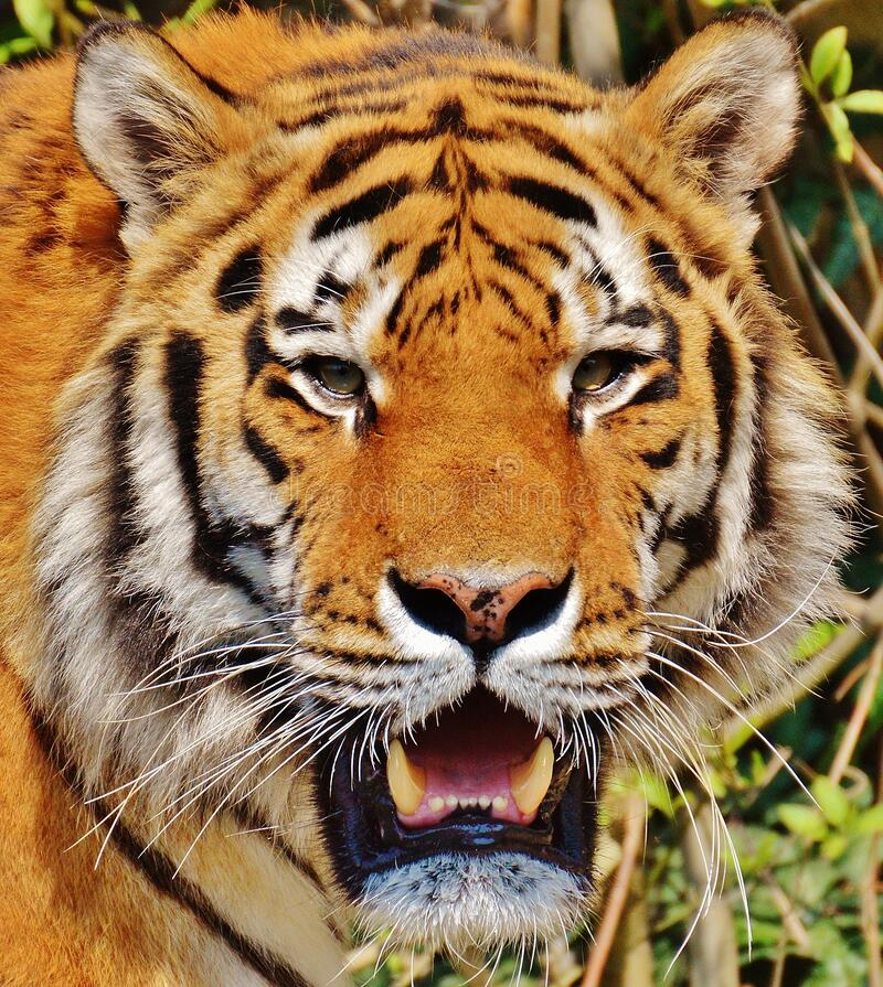 Close Up Photography of Yellow White and Black Tiger Face royalty free stock photo