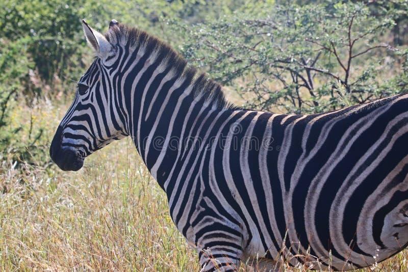 Close-Up Photography of Zebra royalty free stock photo