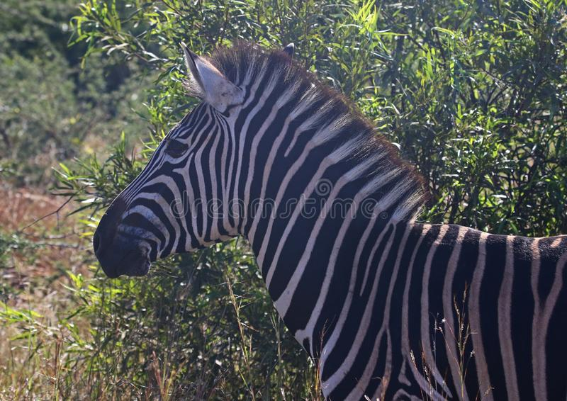 Close-Up Photography of Zebra royalty free stock photography