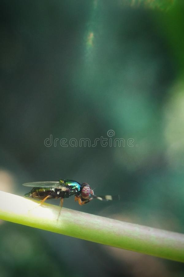 THE RED-EYED FLIES. Close up photos of red-eyed flies but known by the name of the green fly stock images