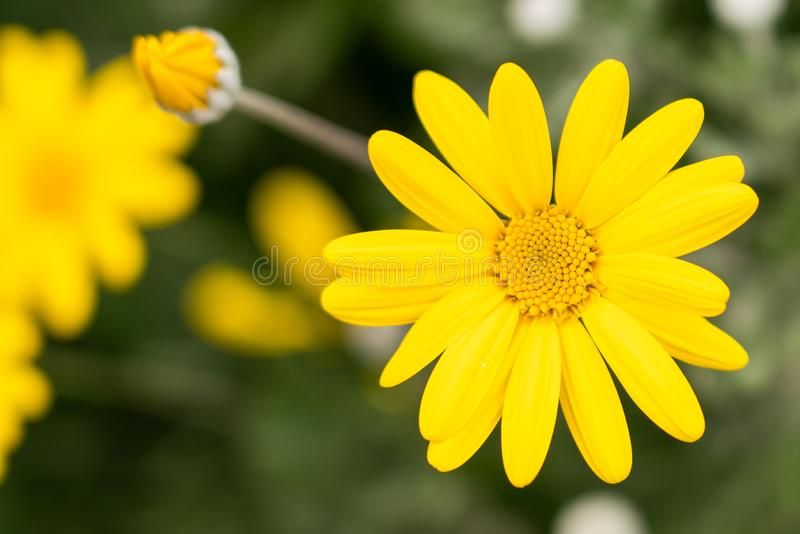 Close up phtography of Yellow aster flower royalty free stock photography