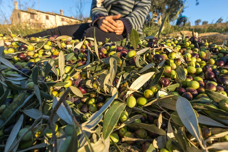 Close up of picked olives from Harvest In Italy stock photos