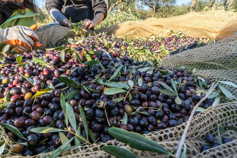 Close up of picked olives from Harvest In Italy stock photo