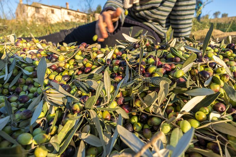 Close up of picked olives from Harvest In Italy stock image