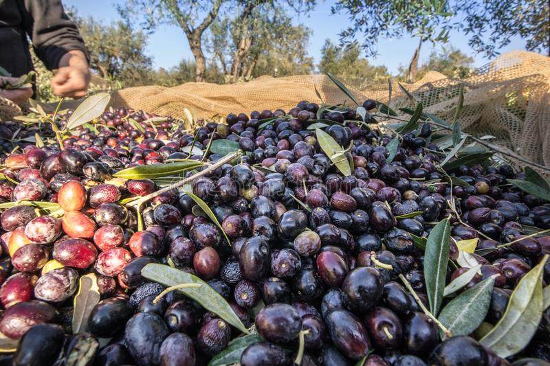 Close up of picked olives from Harvest In Italy stock images