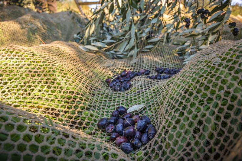 Close up of picked olives from Harvesting royalty free stock photo