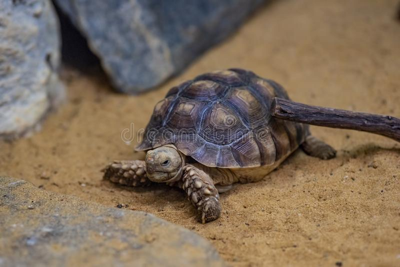 Close-up picture of African spurred tortoise Centrochelys sulcata royalty free stock photos