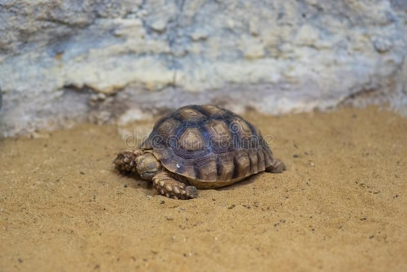 Close-up picture of African spurred tortoise Centrochelys sulcata. African spurred tortoise Centrochelys sulcata,inhabits the southern edge of the Sahara desert royalty free stock photography