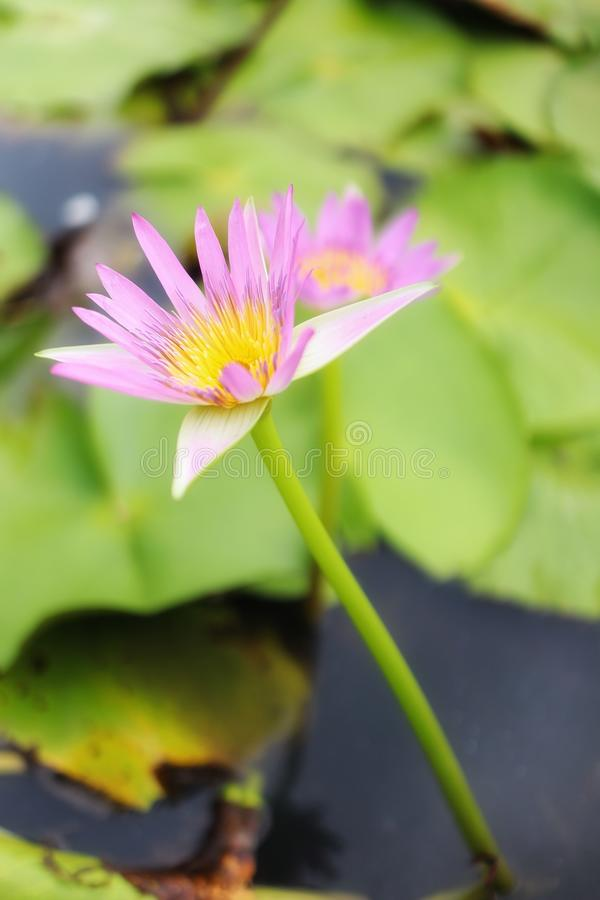 Close-up picture of beautiful pink lotus flowers, blurred background, natural green leaves. Outdoor royalty free stock photos