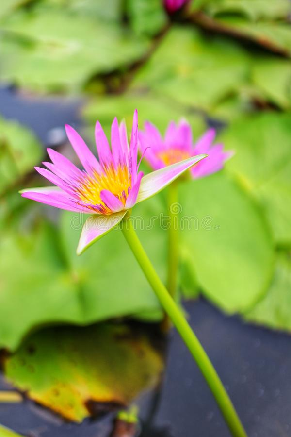 Close-up picture of beautiful pink lotus flowers, blurred background, natural green leaves. Outdoor royalty free stock image