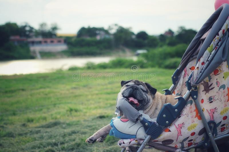 Close-up picture of a cute old Pug dog lying on a wheelchair outdoors, relaxing mood, natural view royalty free stock photos