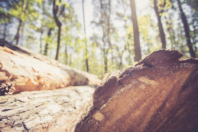Forestry: fallen tree trunk in the wood, blurry background. Close up picture of a fallen tree trunk, forest in the blurry background log cut machine wood ageing royalty free stock images