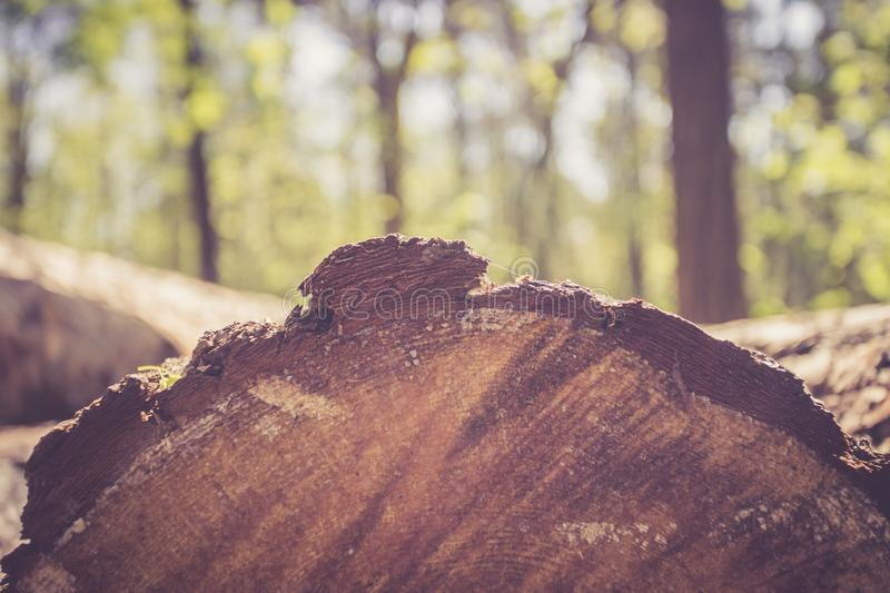 Forestry: fallen tree trunk in the wood, blurry background. Close up picture of a fallen tree trunk, forest in the blurry background log cut machine wood ageing stock image