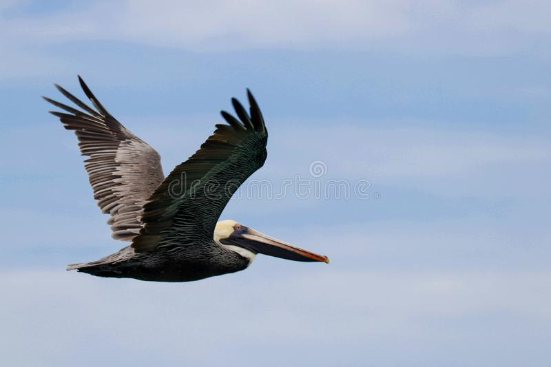 A close up picture of a flying brown pelicans in Jamaica stock image