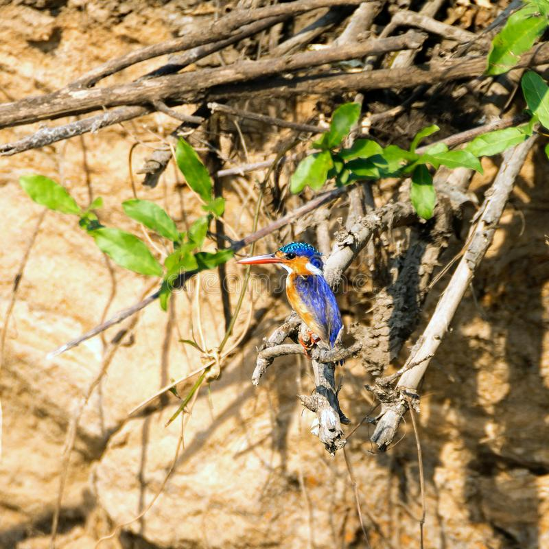 Malachite kingfisher. Close-up picture of a Malachite kingfisher in Selous Game Reserve, Tanzania, Africa stock photos