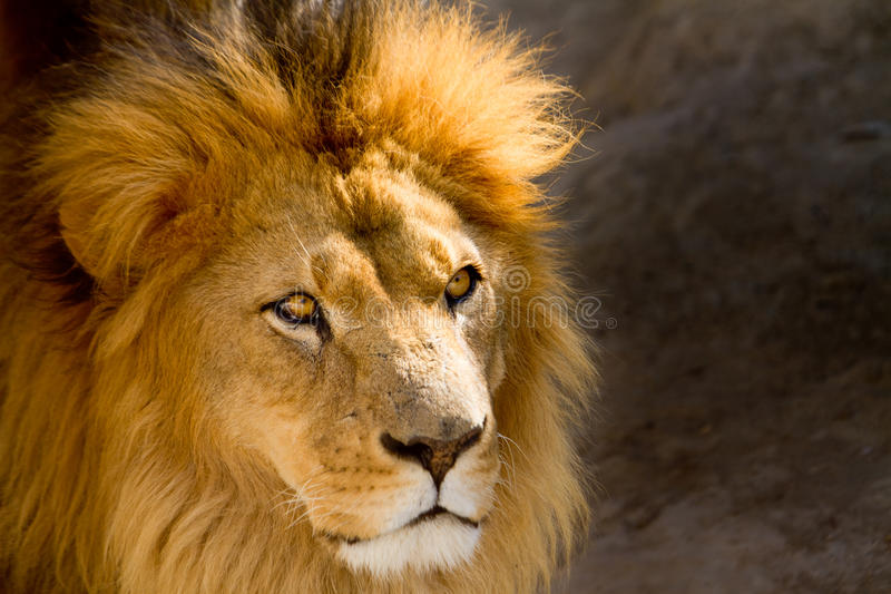 Close Up Picture Of A Male Lion Staring Royalty Free Stock Photos