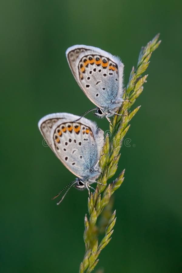 Close up picture from a nice common blue butterflies on the meadow royalty free stock photography