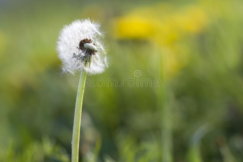 Close-up picture of over bloomed fluffy dandelion with light white seeds on blurred bokeh green background with yellow flowers on stock photos