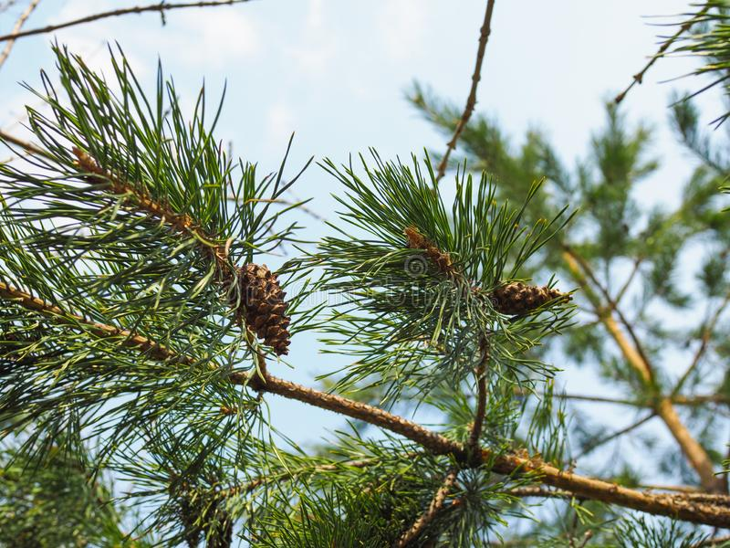Close up picture of pine tree branch with cones.  royalty free stock photo